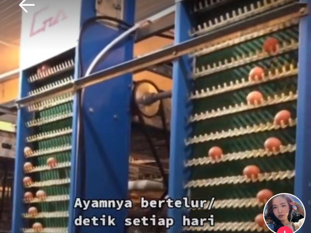 Lihat Peternakan Ayam Modern, Netizen : Kandang Ayam Aja Pakai AC