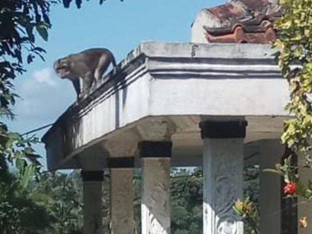 Warga Sukabumi Resah Kawanan Monyet Masuk Langit-langit Rumah