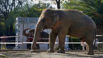Kaavan, Si Gajah Kesepian Diangkut ke Kamboja