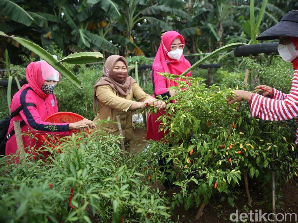 Melihat Panen Urban Farming di Kalibata