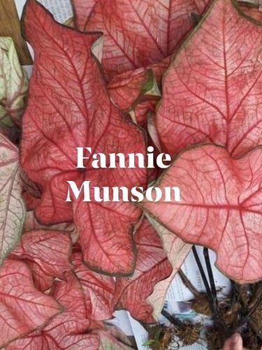 Jenis Keladi Fannie Munson