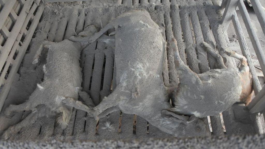 Hewan Ternak Mati Terkena Awan Panas Gunung Semeru