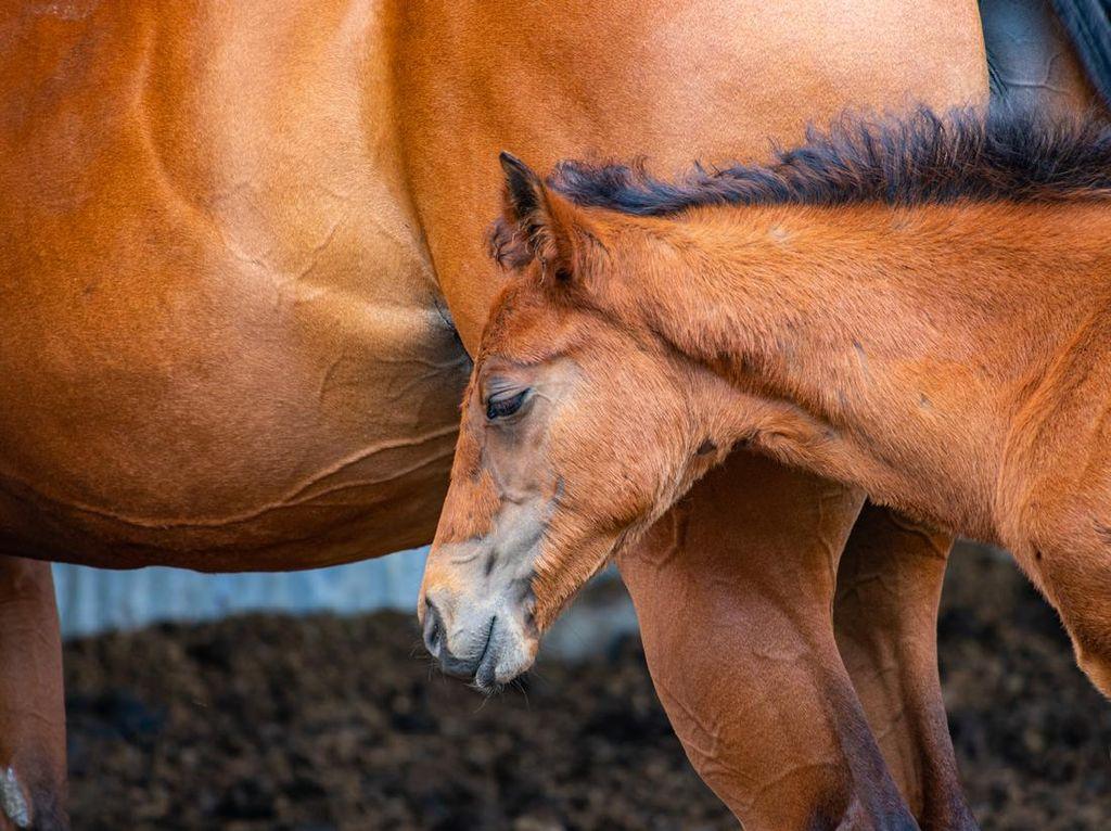 Nutrisi Susu Kuda Liar Mirip ASI, Bisa Tingkatkan Stamina Pria?