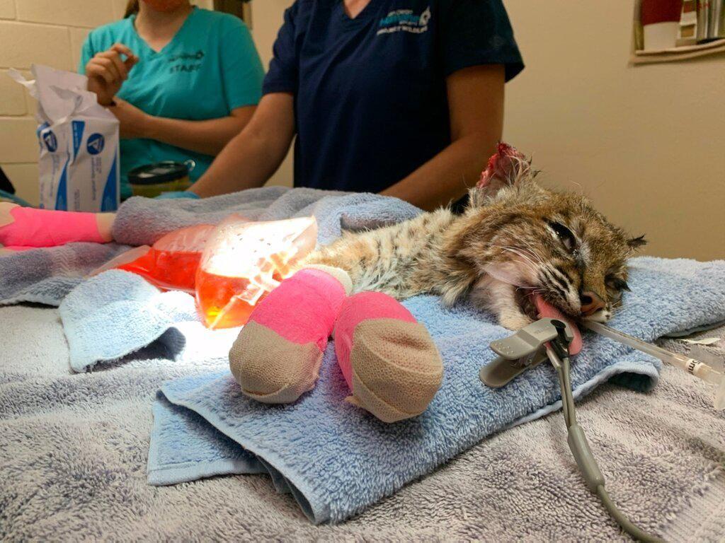 Penyelamatan Kucing Hutan Dari Kebakaran California