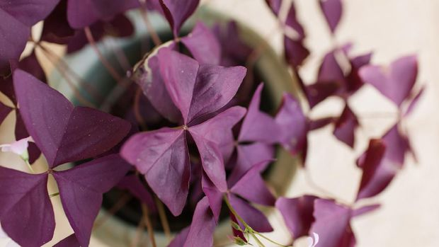 tanaman oxalis triangularis  atau purple shamrock