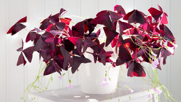 tanaman oxalis triangularis  atau purple shamrock