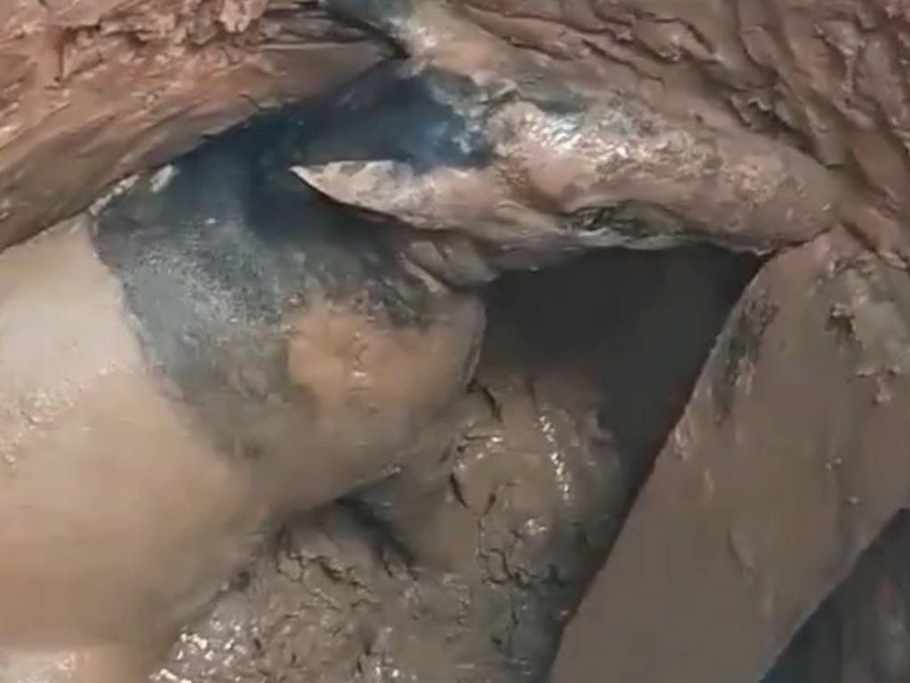 Seekor Tapir Mati Usai Terperangkap di Dalam Sumur Tua di Sumsel