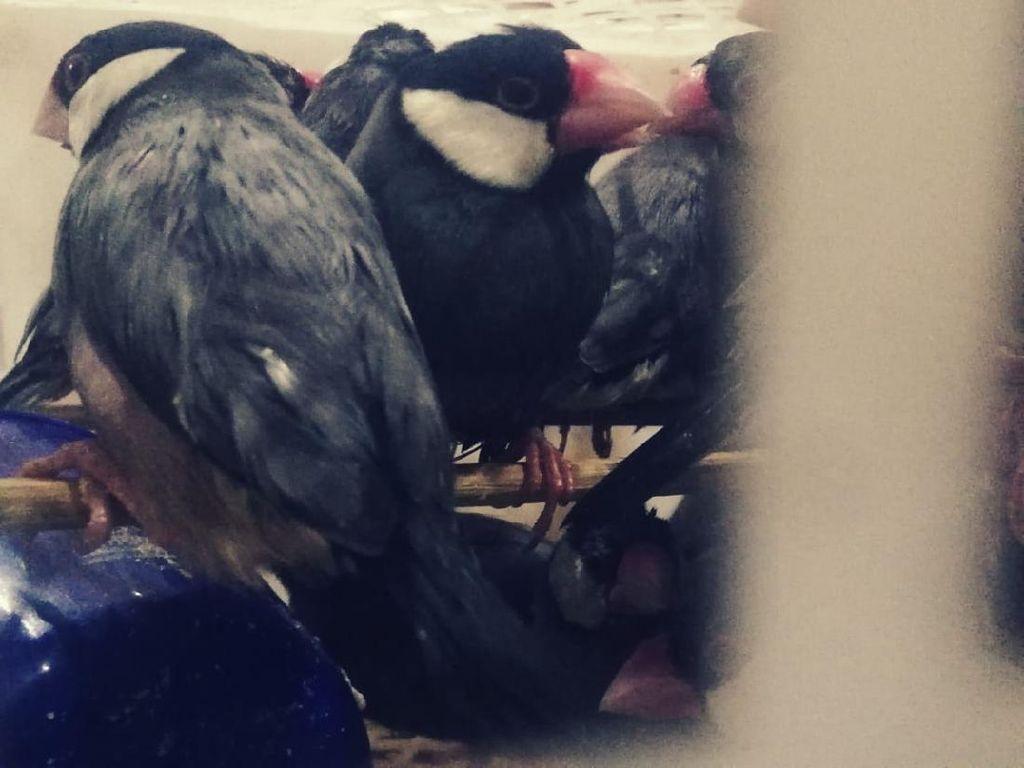 Ratusan Burung Tanpa Dokumen Gagal Masuk Surabaya