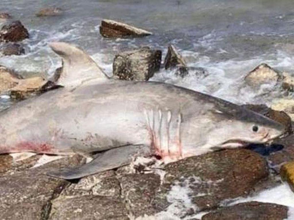 Hiu Putih Langka Australia Ditemukan Mati Dekat Spot Snorkeling Populer