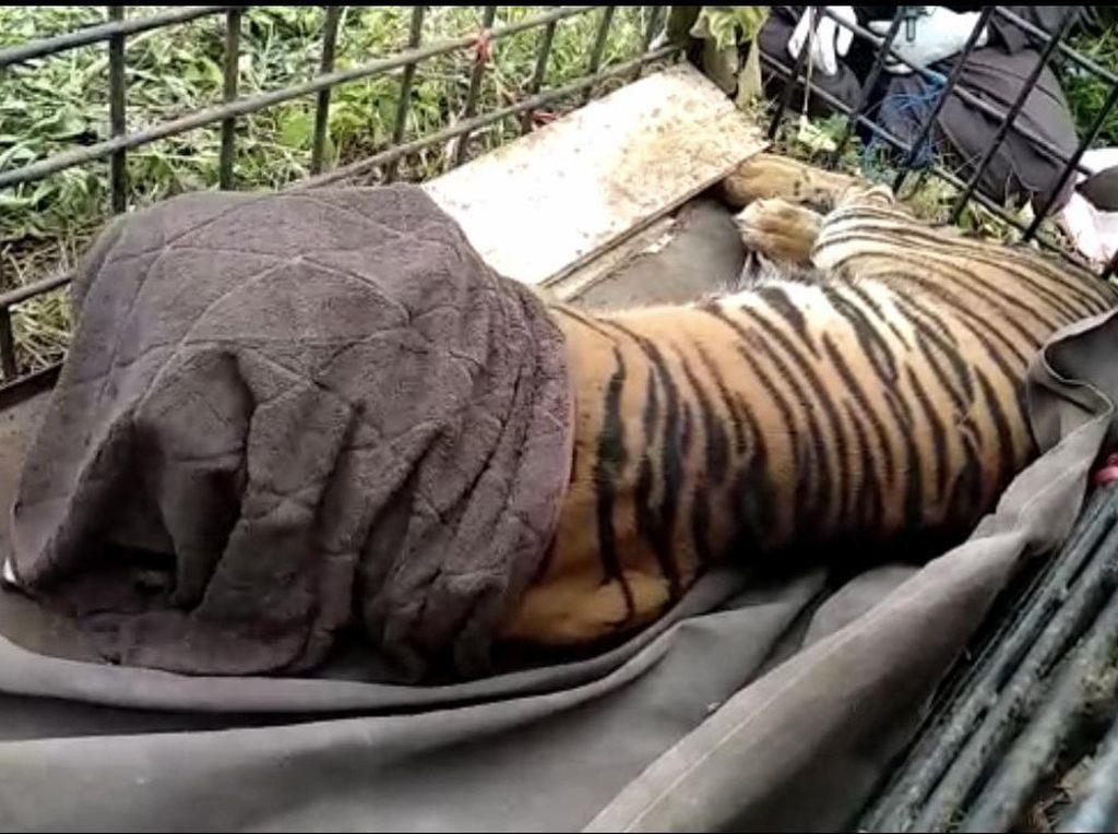 Harimau yang Sempat Nongkrong di Jalanan Sumbar Tertangkap!