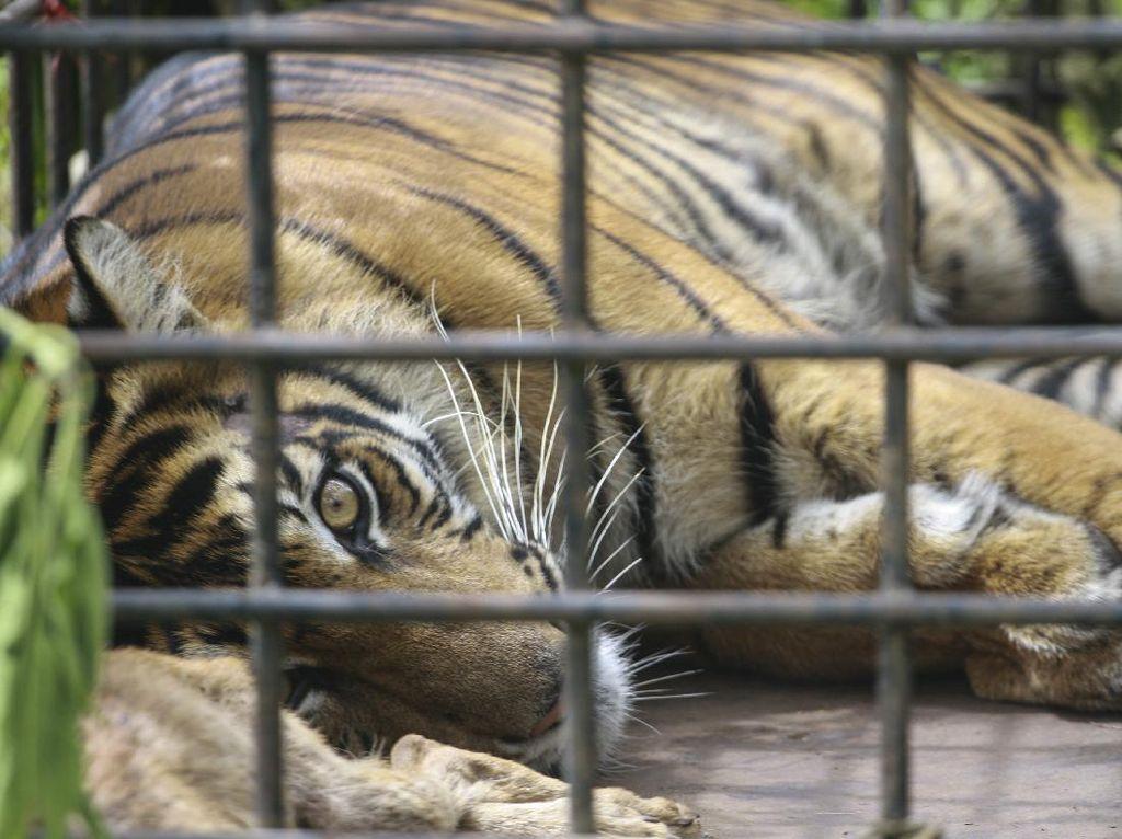 Tertangkapnya Harimau yang Curi Perhatian Usai Viral Nongkrong di Jalan