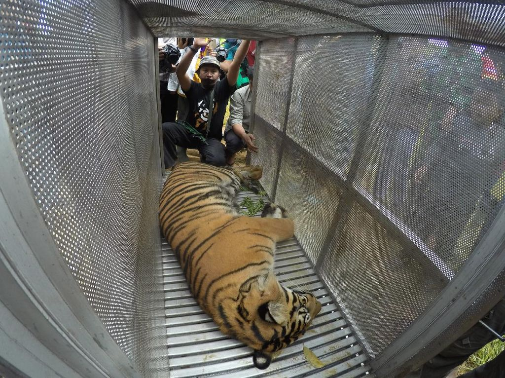 Akhir Kisah Gempar 2 Harimau Nongkrong di Jalanan Sumbar