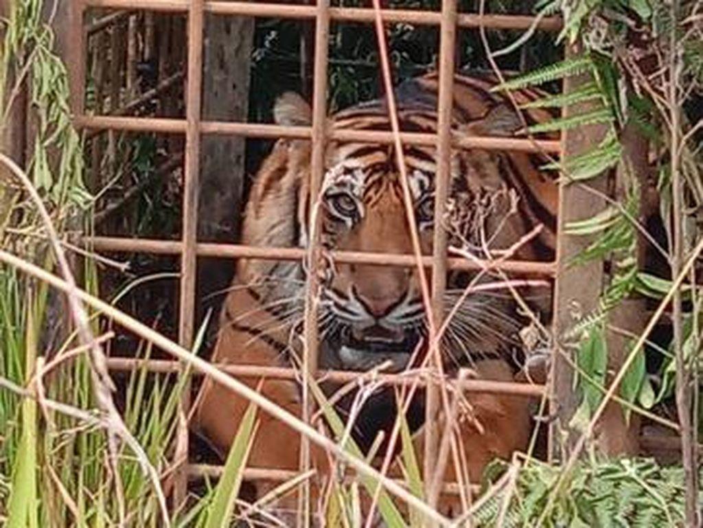 2 Harimau yang Berkeliaran di Jalan Raya Solok Akhirnya Ditangkap!