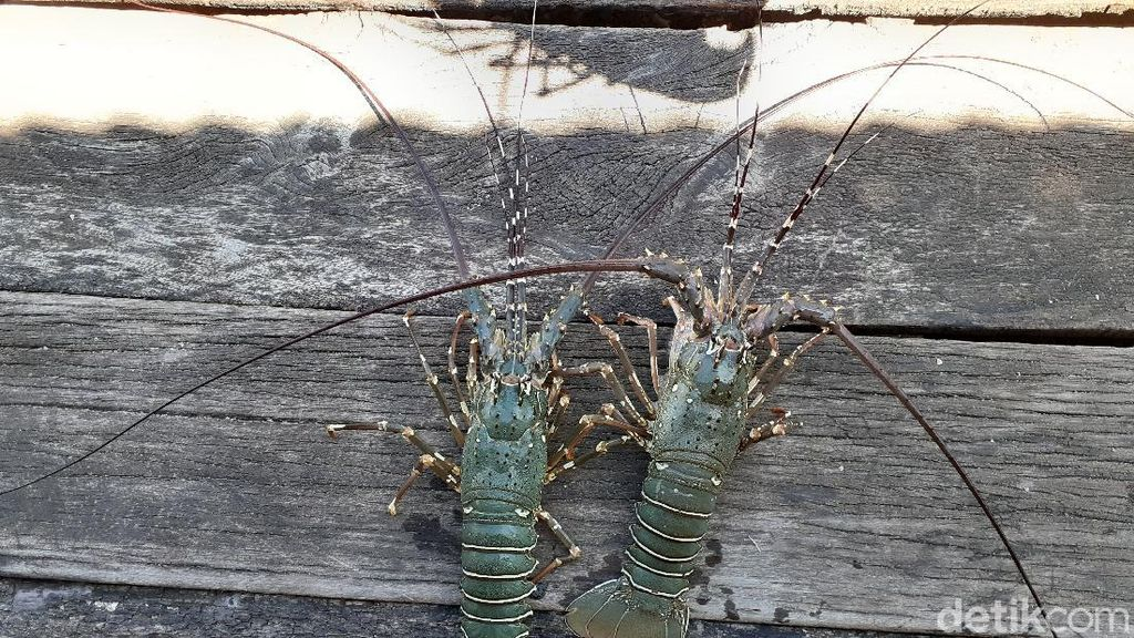 Lobster Bukan Barang Mahal di Kampung Goras Papua