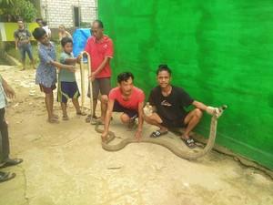 Warga Samarinda Tangkap King Cobra yang Berkeliaran di Perumahan