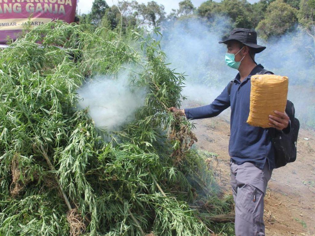 5 Hektare Ladang Ganja Dimusnahkan di Sumut, 5 Tersangka Ditangkap