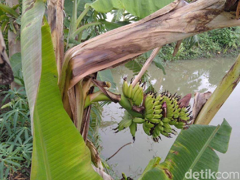 Unik, Pohon Pisang di Lamongan Ini Berbuah dari Tengah Batangnya