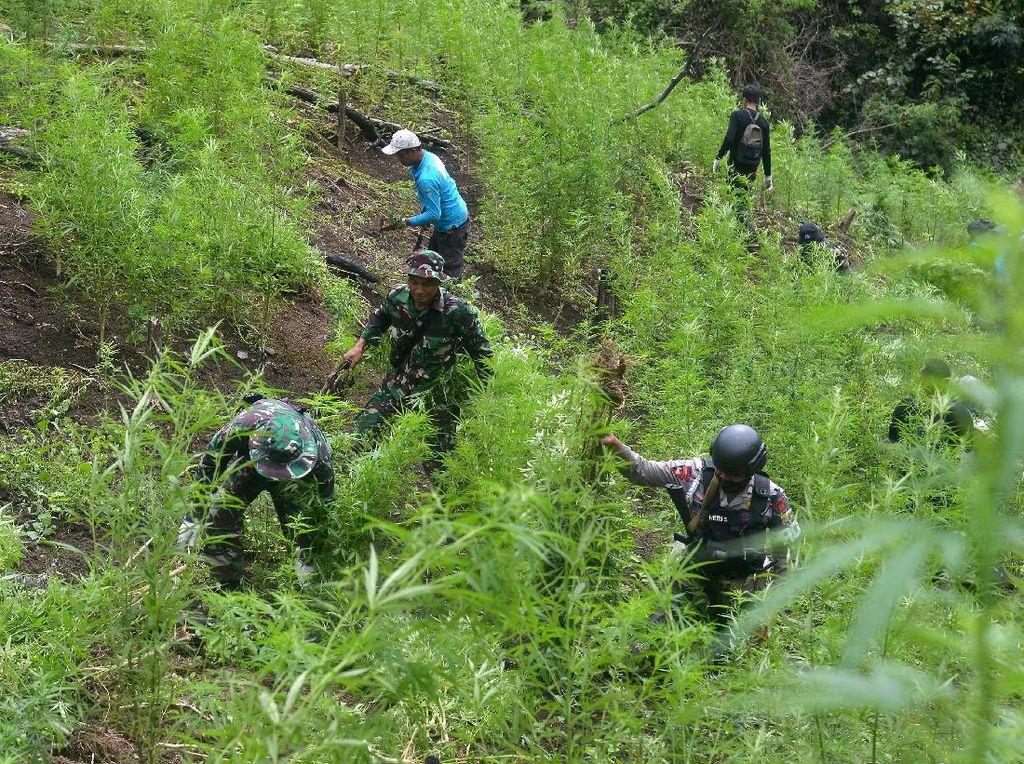 Pemusnahan 3,5 Hektare Ladang Ganja di Aceh