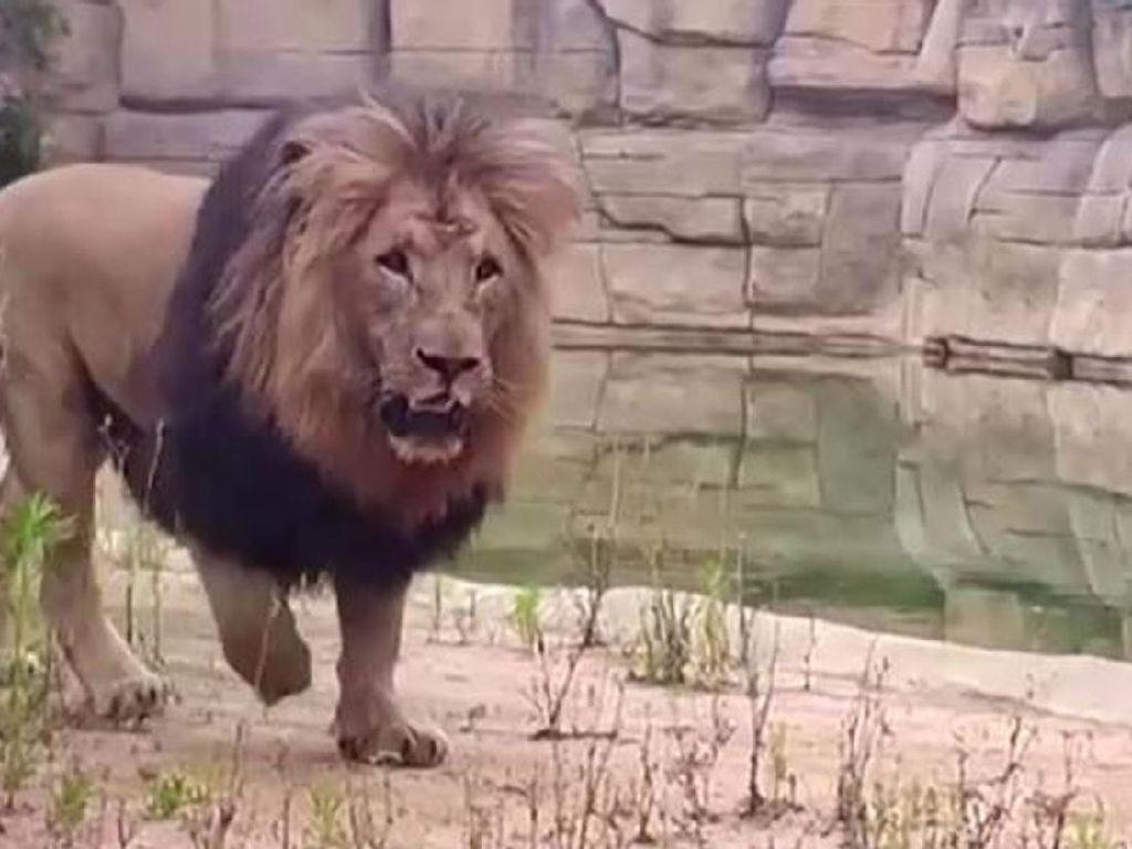 Tak Hanya di New York, 4 Singa di Kebun Binatang Barcelona Terinfeksi Corona