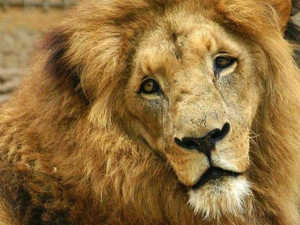 Pemandu Safari di Afrika Selatan Tewas Dimakan 2 Singa Hidup-hidup