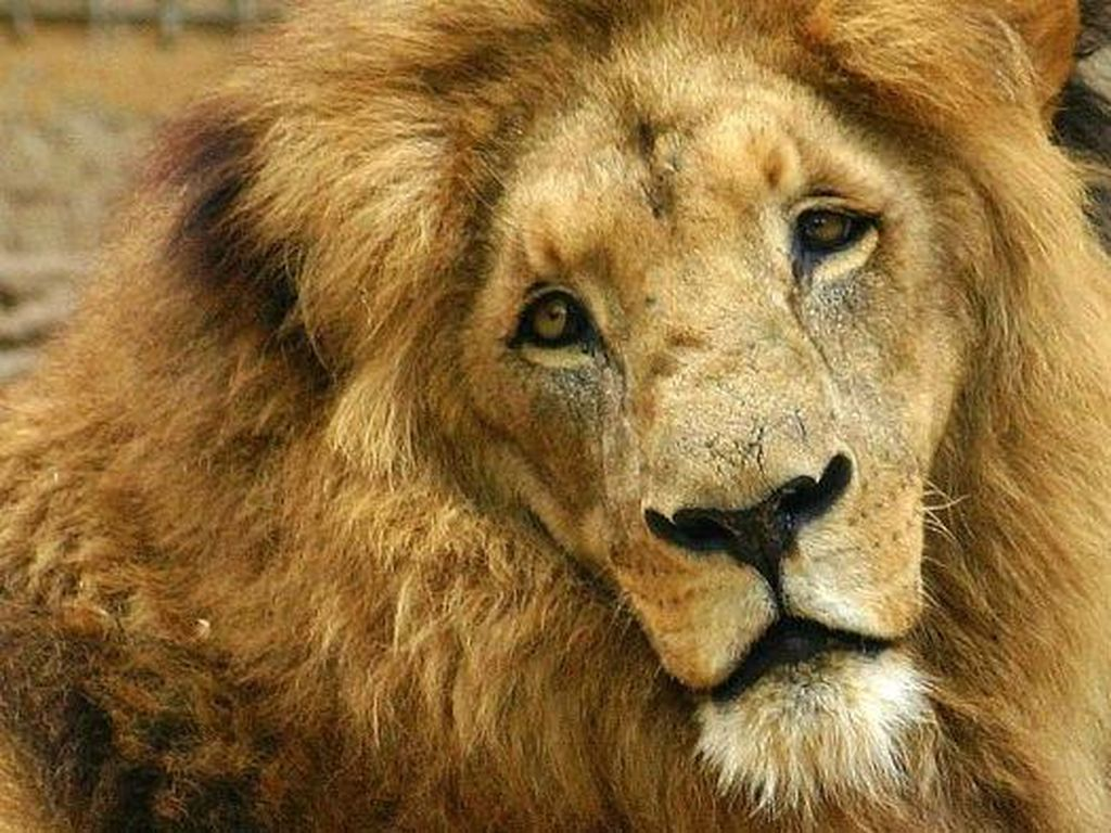 Kasihan, Penjaga Kebun Binatang Diserang Singa Sampai Luka Parah