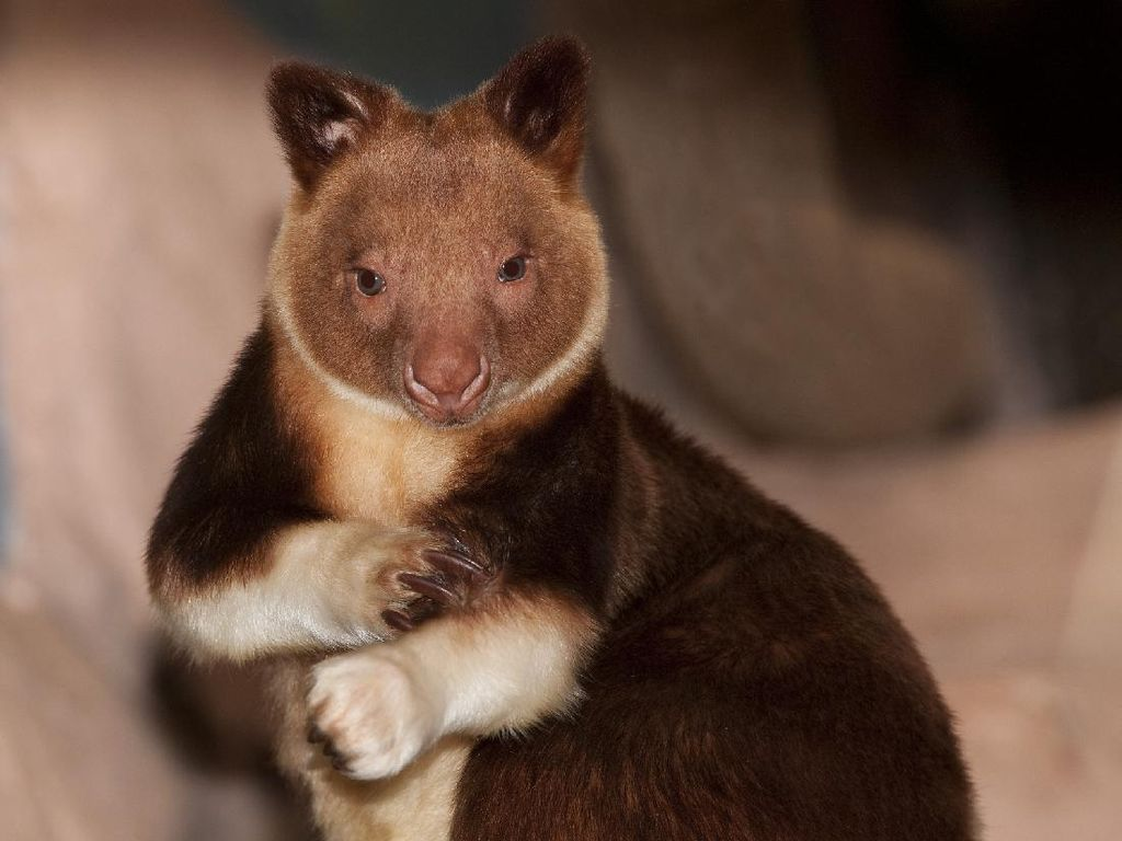Unik! Papua Punya Kanguru Pohon