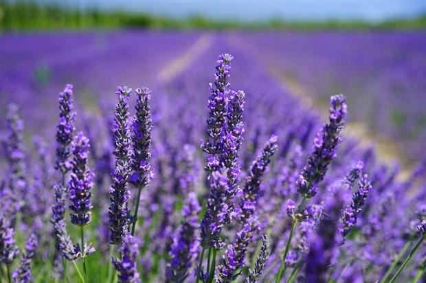 Lavender/ Foto: Pexels.com