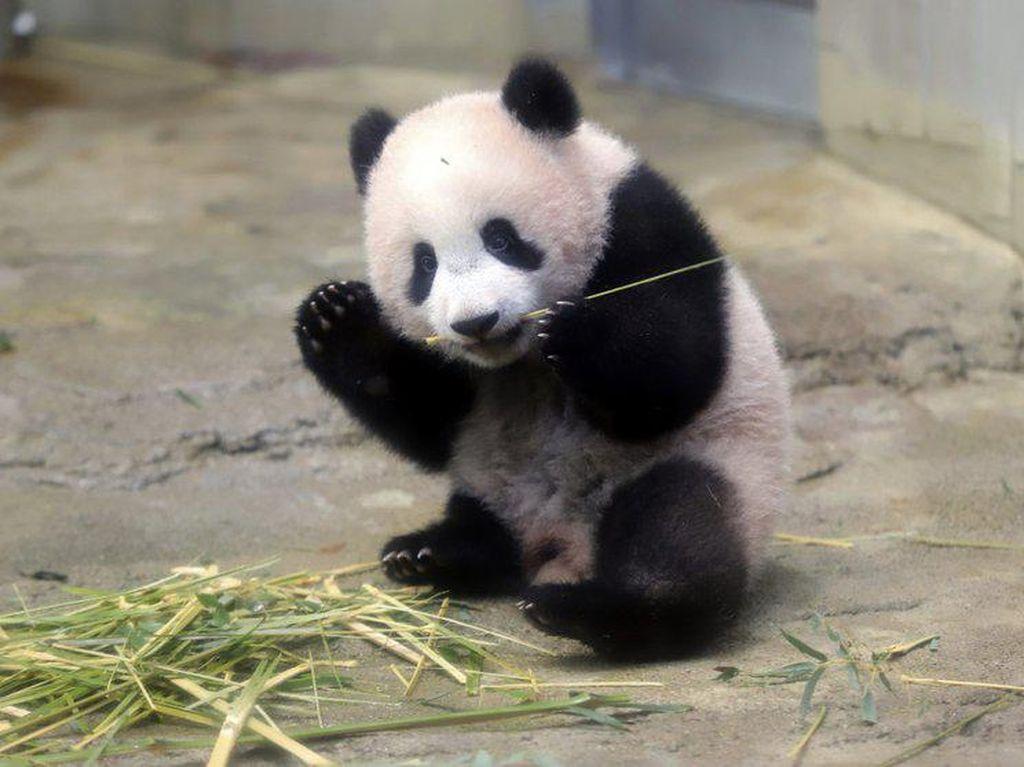 Tak Cuma Manusia, Panda Juga Tak Bisa Pulang Kampung Gegara Corona