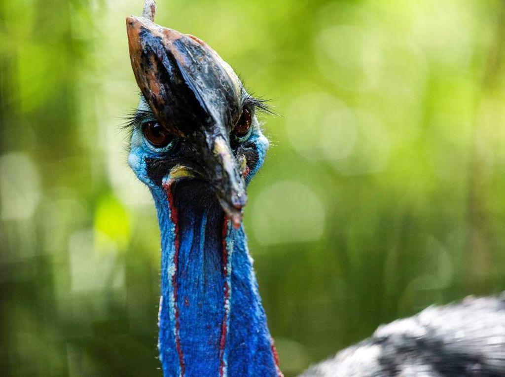 Burung Kasuari Khas Papua, Enggak Bisa Terbang dan Betah Mengerami Telor