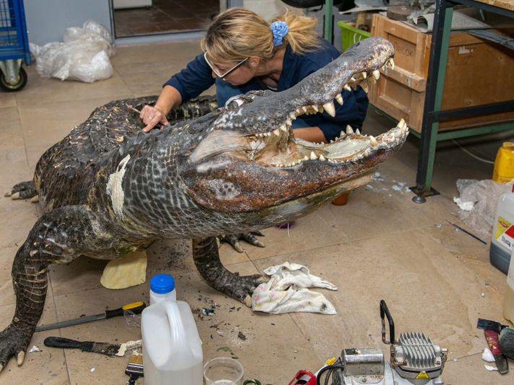Masih Ingat Aligator Kesayangan Hitler? Kini Ia Dipajang di Museum