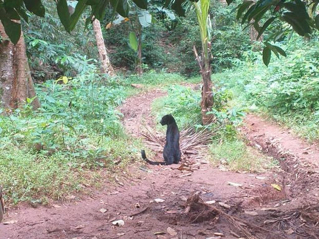 Warga Tembak-Niat Racuni Macan Pemangsa Domba di Karawang