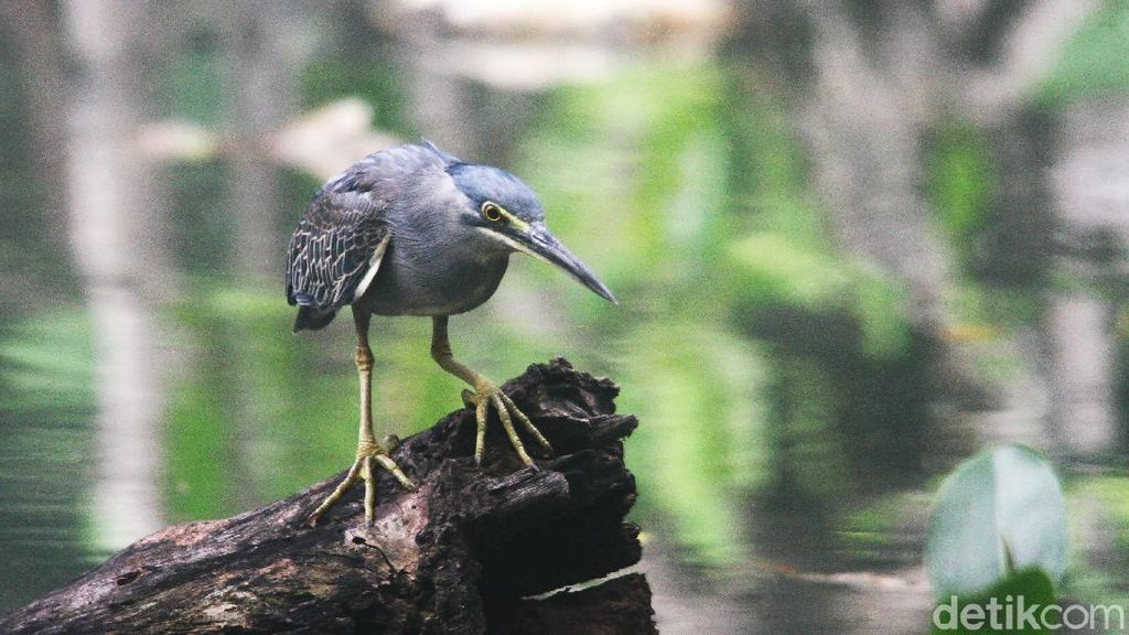 Burung Kokokan Laut yang Masih Eksis di Pantai Jakarta