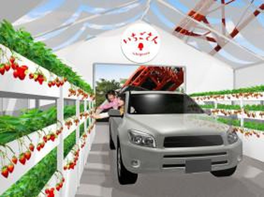 Inovatif! Jepang Terapkan Wisata Petik Stroberi Drive-Thru