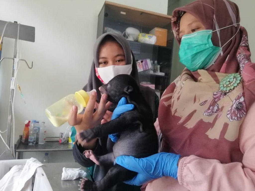 BKSDA Selamatkan Bayi Beruang Madu yang Ditemukan Warga di Kuansing Riau