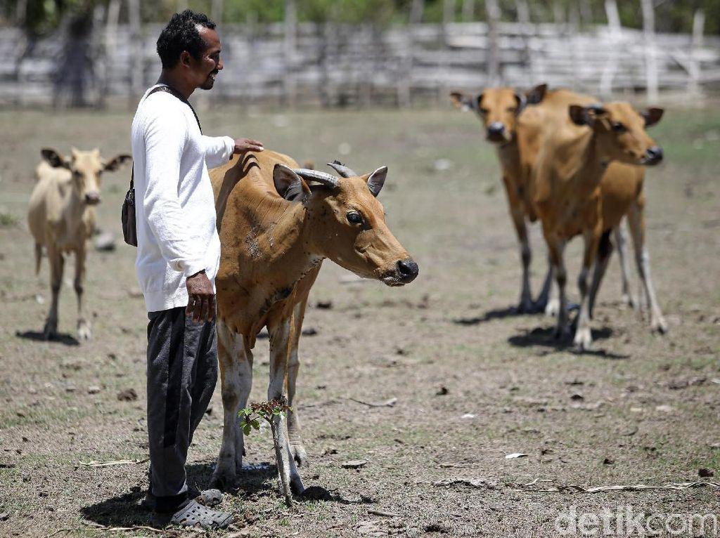 Foto: Melihat Peternakan Sapi Malaka