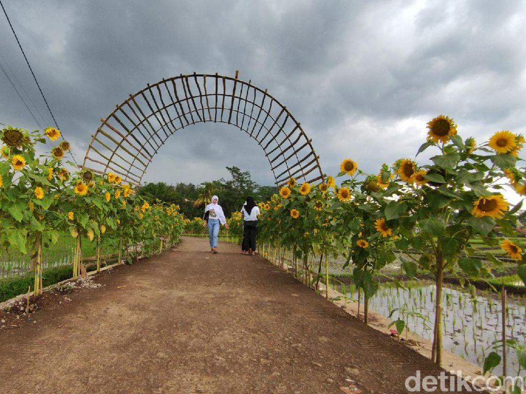 Foto: Spot Instagramable baru di Cianjur, Kampung Bunga Matahari