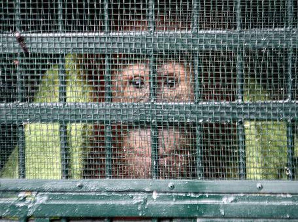 Sempat Diserang, Tim BKSDA Dikawal Polisi Saat Sita Orang Utan di Sumut