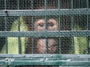 11 Orangutan Sumatera Selundupan Dipulangkan ke Indonesia
