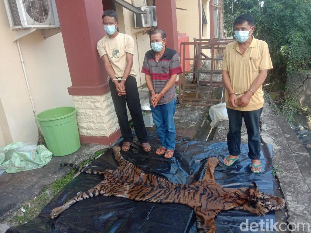 Polisi Gagalkan Perdagangan Kulit Harimau di Bengkulu, 3 Orang Diamankan