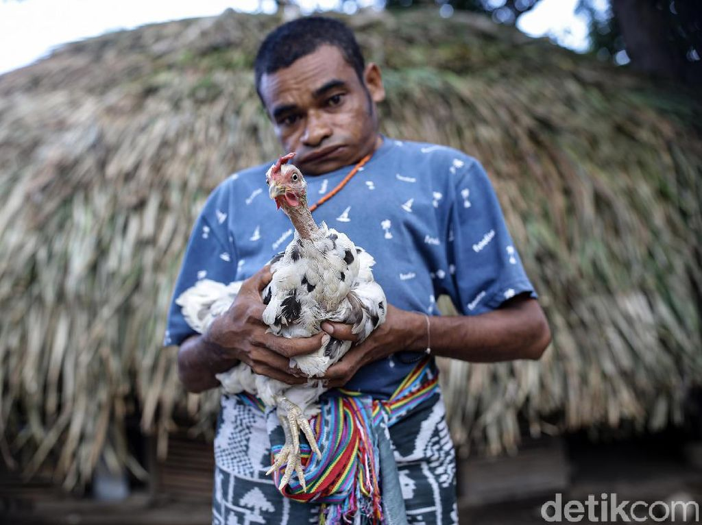 KUR BRI Bantu Peternak Ayam Rumahan