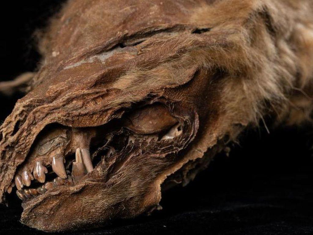 Mumi Anak Serigala Purba yang Hidup 56 Ribu Tahun Lalu Ditemukan di Kanada