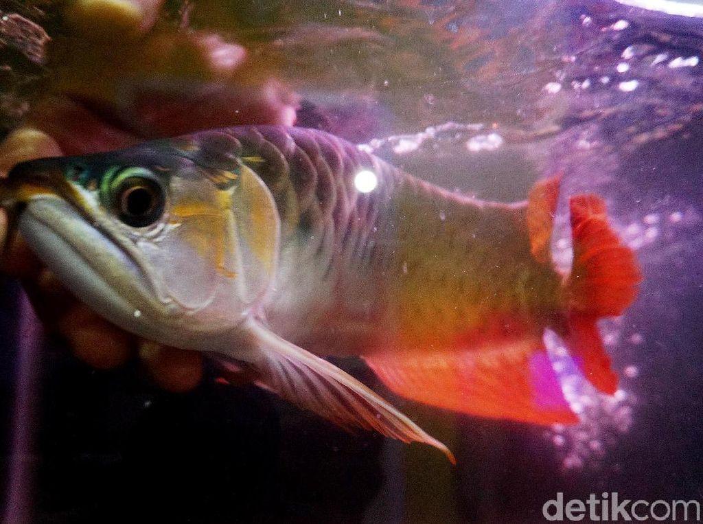 Keunikan Arwana Kalimantan, yang Hamil Malah Pejantan