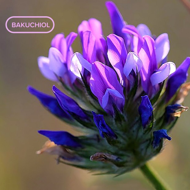 Tanaman Babchi yang memiliki komponen bakuchiol.
