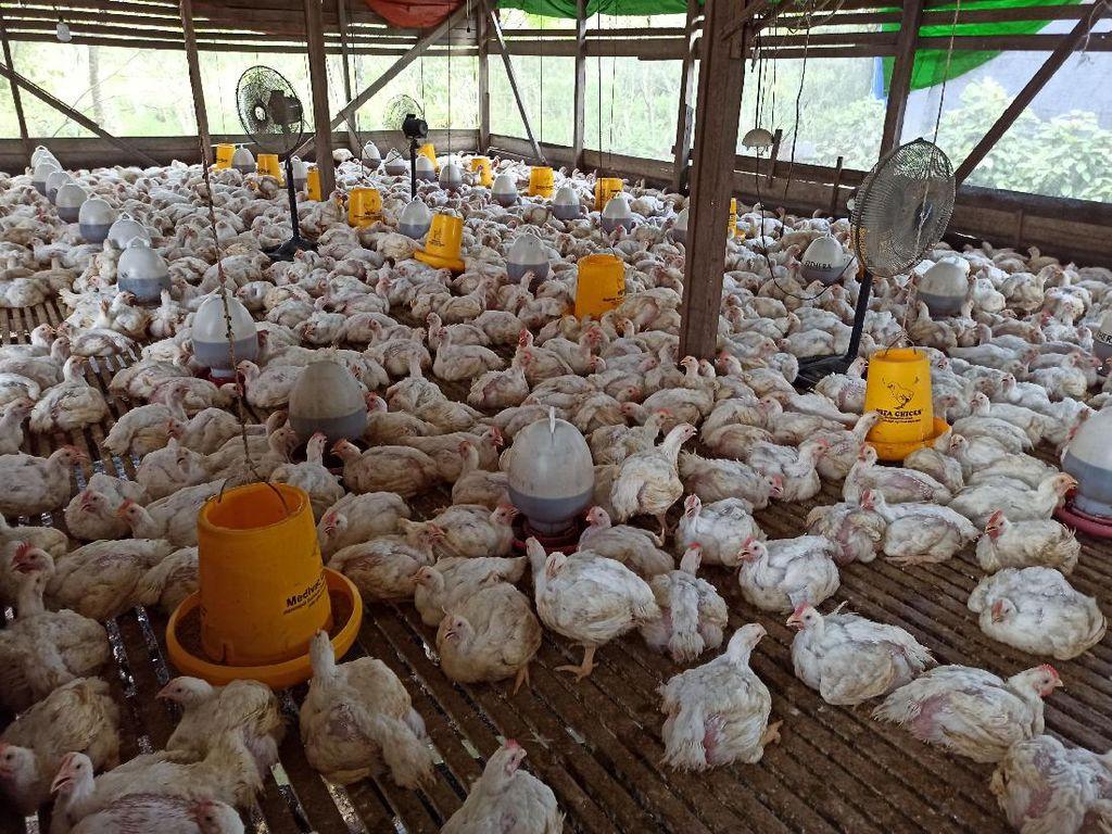 Tarik Sis! Uniknya Ayam Ternak di Kalbar Suka Diputarkan Lagu Dangdut