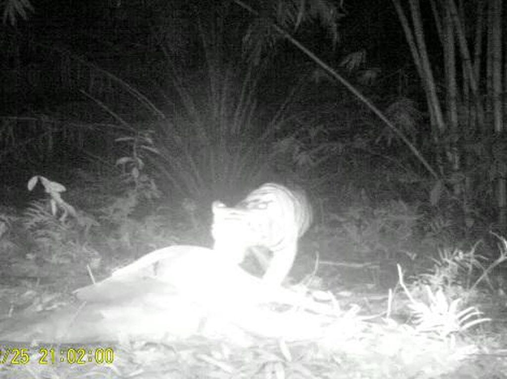 Gawat Harimau Pemangsa Ternak Kembali Teror Langkat