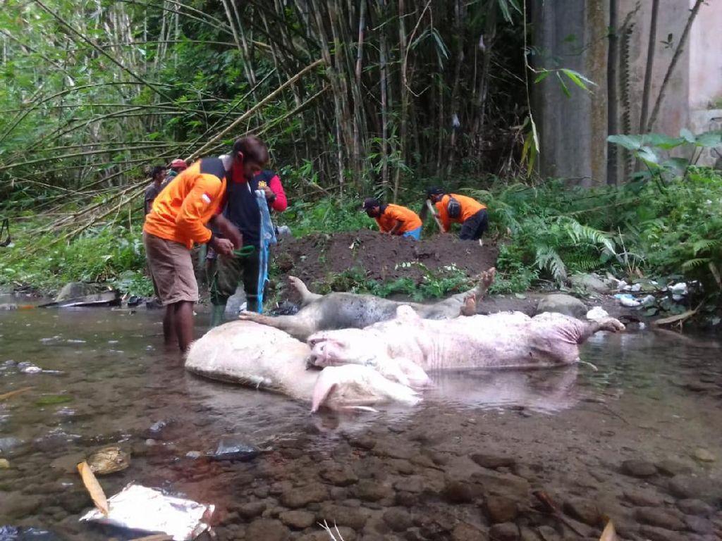 Pembuang 3 Bangkai Babi Jumbo di Sungai Klaten Divonis Denda Rp 3 Juta