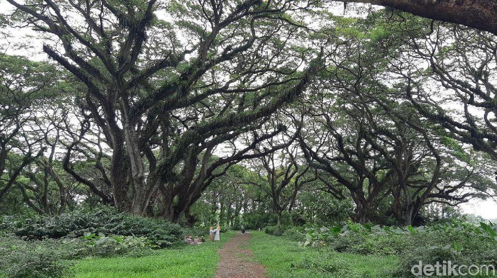 Foto: Asrinya Hutan De Djawatan yang Mirip Negeri Dongeng