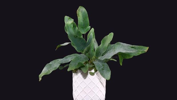tanaman hias blue star fern, tanaman hias pakis bintang biru