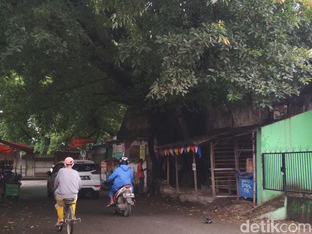Pohon Beringin: Manfaat, Habitat, dan Filosofinya dalam Kebudayaan Jawa