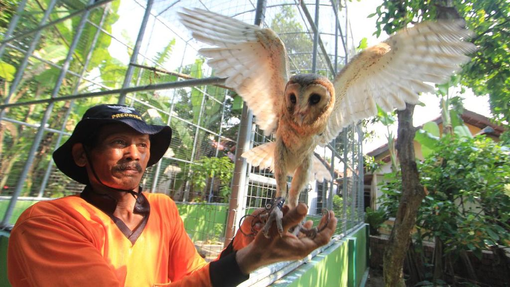 Melihat Lebih Dekat Penangkaran Burung Hantu di Indramayu